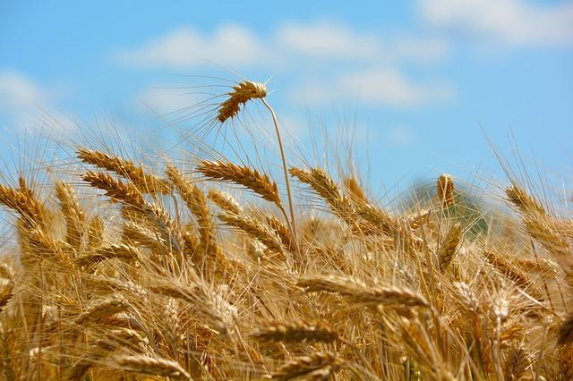 trigo y gluten