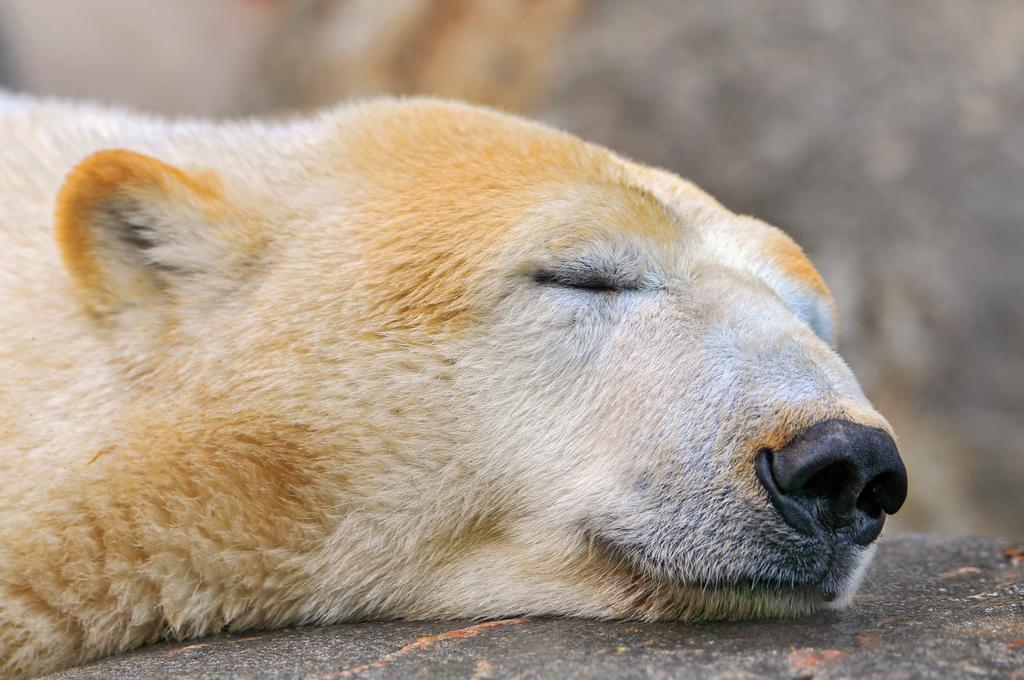 oso que duerme